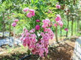Hoa hồng Vineyard Song rose